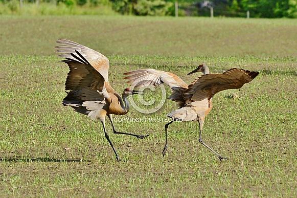 Sandhill Cranes in the springtime
