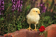 Yellow Chick and Flowers