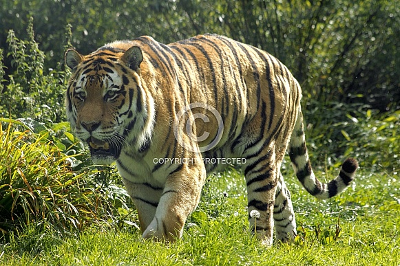 Amur Tiger Walking