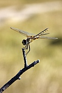 Darner Dragonfly (Family Aeschnidae)