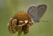 Common Grass Blue butterfly (wild).