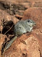 Dassie Rat (Petromys typicus) - Namibia
