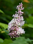 Pink Lilac in Bloom