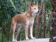 Dingo standing