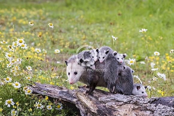Opossum Mother and Joeys