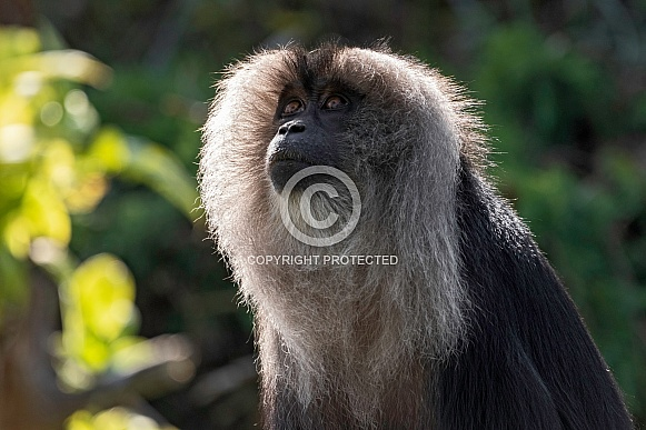 Lion Tailed Macaque Looking Upwards