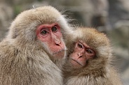 Snow monkeys  (Japanese Macaques)