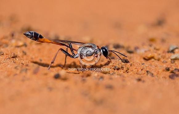 Ammophila Wasp