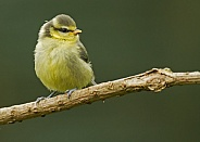 European Blue Tit (fledgling)