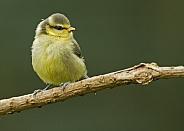 European Blue Tit (fledgling)