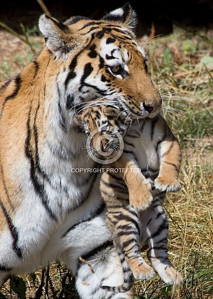 Amur tigress carrying cub