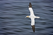 Gannet in flight - North Yorkshire coast - England