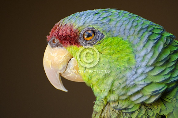 Lilac-crowned Amazon Parrot