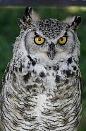 Canadian Eagle Owl