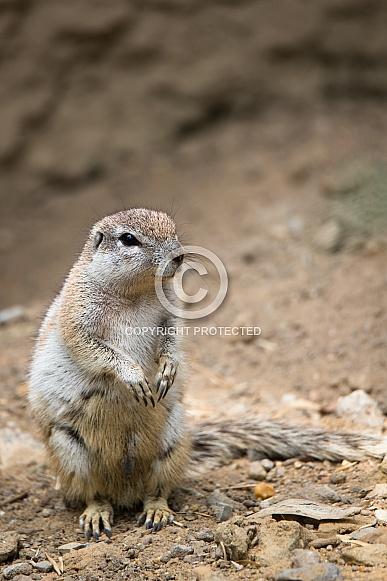 Cape ground squirrel