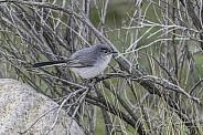 Blue-gray Gnatcatcher Bird in Arizona