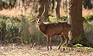 Silka deer