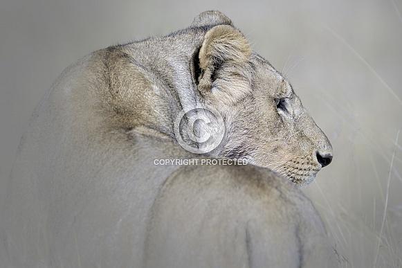 Lioness (wild)