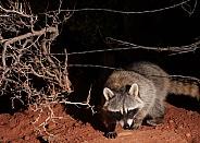 Raccoon Procyon Lotor