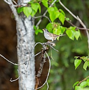 White-crowned Sparrow Perched on a Branchh
