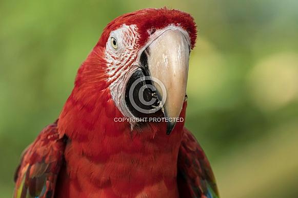 Scarlet Macaw Looking Straight Ahead