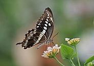 Constantine's Swallowtail