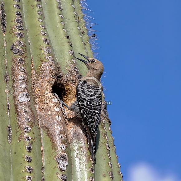 Cactus Wren and Saguaro Nest