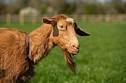 Golden Guernsey Goat