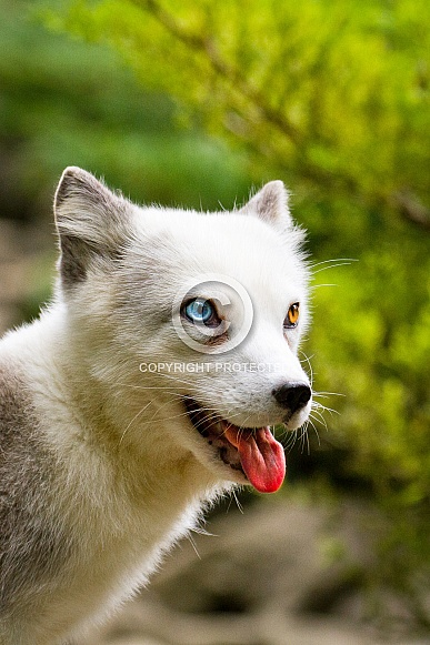 Odd eyed polar fox