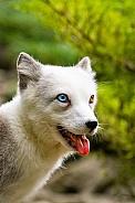 Odd eyed polar fox