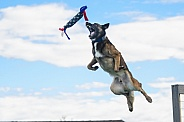 Belgian Malinois catching a toy while dock diving