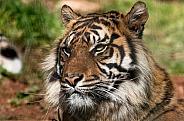 Sumatran Tiger Close Up Looking To The Side