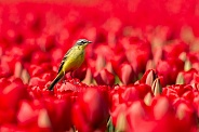 Yellow wagtail on tulip
