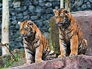 Pair of Young Amur Tigers