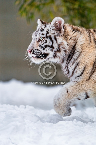 Young Amur Tiger in Snow. Light Coat
