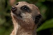 Meerkat Looking Upwards Face Shot
