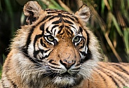 Sumatran Tiger Close Up Face Shot