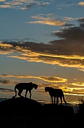 Cheetahs in the sunset