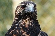 Chilean Blue Eagle, Close up