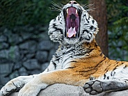 Amur Tiger Mouth Wide Open