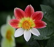 Dahlia with three white petals