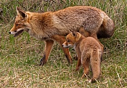 Red Fox with cub (vulpes vulpes)