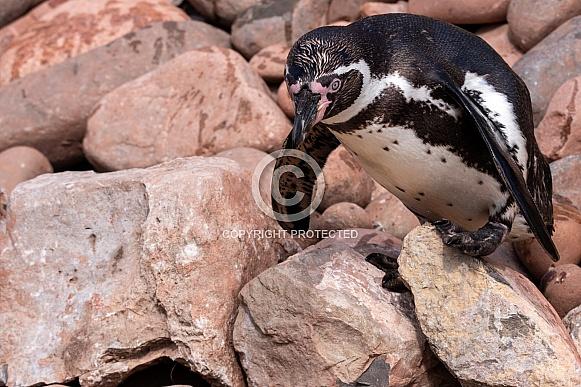 Humboldt Penguin On Rocks
