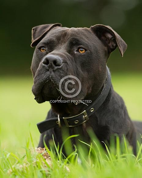American Bulldog Portrait