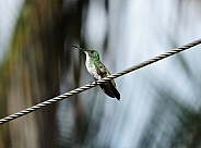 Plain-bellied Emerald Hummingbird