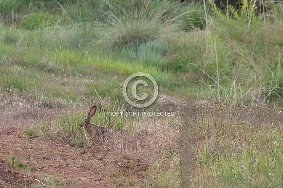Black-tailed jackrabbit, American desert hare, Lepus californicus