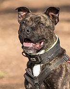 Staffordshire Bull Terrier Cross