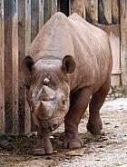 3 Horned Black Rhino