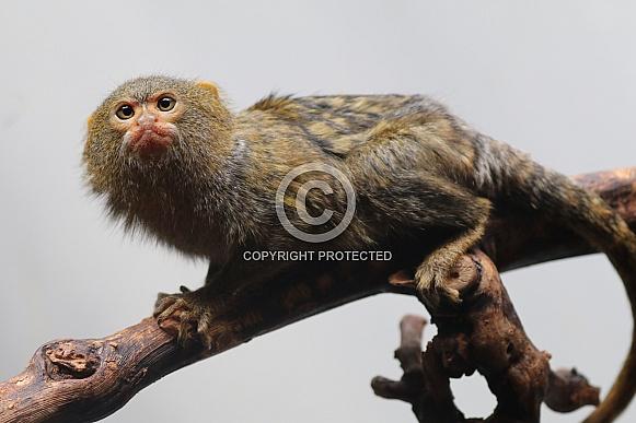 Pygmee monkey