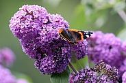 atalanta on purple flower